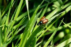 Garden beetle. Description: Garden beetle Phyllopertha horticola on green juicy grass stock photography