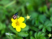 Garden beetle, Phyllopertha horticola Stock Photo