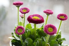 Garden bellis perennis in bloom. Group of dark pink english daisies in the pot with leaves and yellow center Stock Image