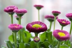 Garden bellis perennis in bloom royalty free stock photos