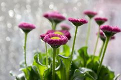 Garden bellis perennis in bloom. Group of dark pink english daisies in the pot with leaves and yellow center Stock Photography