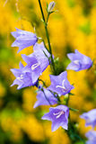 Garden Bells. Bluebells in the garden outside the city on a background of yellow loosestrife Stock Photo
