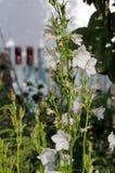 Garden bells. Beautiful flowers in the garden royalty free stock image