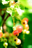 Garden berries on branch Stock Image