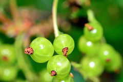 Garden berries on branch Royalty Free Stock Images