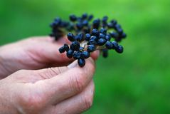 Garden berries from the hands Royalty Free Stock Images