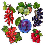 Garden berries - red black currant gooseberry barberry hawthorn plum Stock Photography