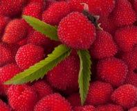 Garden berry hybrid of blackberry and raspberry. Background stock photos