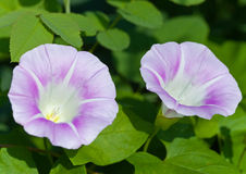 Garden bindweed Royalty Free Stock Image
