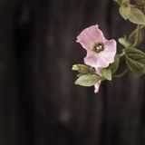 Garden bindweed. Pink Bindweeds. On blur wooden  dark background Stock Images