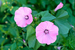 Garden bindweed Stock Photo