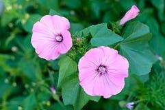 Garden bindweed Stock Photo