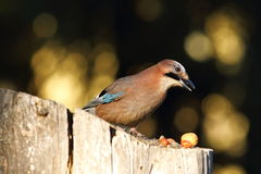 Garden bird foraging for nuts Royalty Free Stock Image