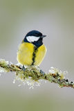 Garden bird Great Tit, Parus major, black and yellow songbird sitting on the nice lichen tree branch, Czech. Bird in nature. Sprin. Garden bird Great Tit, Parus Stock Photo