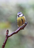 Garden Birds - Blue Tit Royalty Free Stock Images
