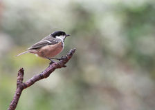 Garden Birds - Coal Tit Royalty Free Stock Photography