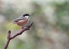 Garden Birds - Coal Tit. Garden Bird - Coal Tit - Parus ater - perched on a branch Royalty Free Stock Photography