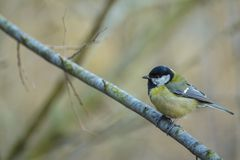 Titmouse - Great Tit Stock Images