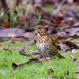 Garden Birds - Song Thrush Royalty Free Stock Images