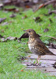 Garden Birds - Song Thrush. A side view of the Song Thrush showing its lovely speckled belly and brown back Stock Photography