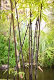 Black bamboo. In the garden the black bamboo smells of exotic flavour stock photography