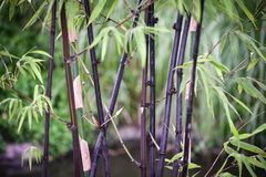 Black bamboo. In the garden the black bamboo smells of exotic flavour royalty free stock image