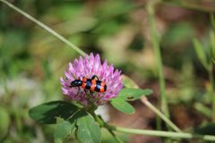 Garden black and red bug burying beetle sitting on a red clover blossom. Photo stock image