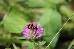 Garden black and red bug burying beetle sitting on a red clover blossom. Photo royalty free stock photography
