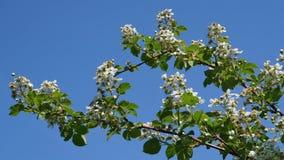Garden blackberry begins to blossom in June Stock Photo