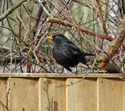 Garden blackbird on fence Royalty Free Stock Images
