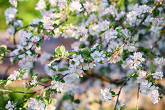The garden blooming. Apple trees in spring Stock Photography