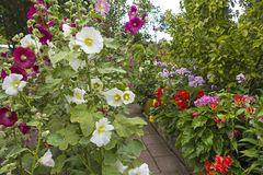 Garden with blooming mallows and phlox. View into a lush garden with blooming mallows and phlox. The allotment garden Kleingarten is a paradise in the city Royalty Free Stock Photos