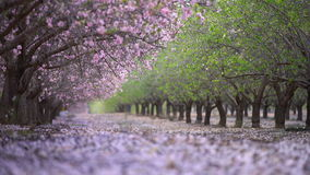 Garden with blooming peach trees stock footage