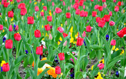 Garden with blooming tulips Stock Images