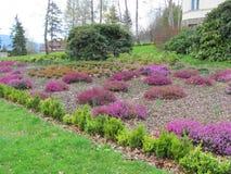Garden blooming violet heather Calluna vulgaris in the mountains stock image