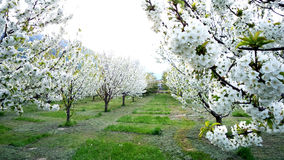 Garden of bloomy trees, springtime Royalty Free Stock Image