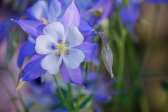 Garden of blue Columbine flowers royalty free stock images