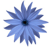 Garden blue flower, white isolated background with clipping path.  Closeup.  no shadows. view of the stars,  for the design. Royalty Free Stock Image