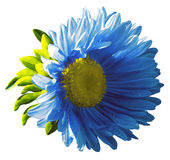 Garden blue  flower on a white isolated background with clipping path. Nature. Closeup no shadows, Royalty Free Stock Photo