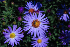 Garden  blue  flowers and insect. Garden blue flowers and insect, autumnal floral background Royalty Free Stock Image