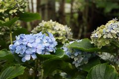 Garden of blue hydrangeas. stock photo