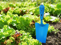 Blue scoop and green lettuce Stock Photography