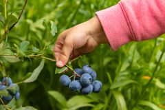 Free Garden Blueberries Are Delicious, Healthy Berry Fruits. Vaccinium Corymbosum, Blueberry. The Child`s Hand Holds A Bunch Of Blue Stock Photo - 155512460