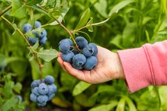 Free Garden Blueberries Are Delicious, Healthy Berry Fruits. Vaccinium Corymbosum, Blueberry. The Child`s Hand Holds A Bunch Of Blue Stock Image - 155512541