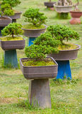 Garden of bonsai trees Royalty Free Stock Images