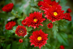 Garden bordeaux chrysanthemum with ladybug Stock Photography