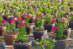 Garden bougainvillaea. The park has a variety of colors  bougainvillaea Royalty Free Stock Photos