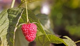 Raspberries in the garden on the branches of a Bush. In the garden on the branches of the raspberries among green leaves Stock Photography