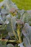 Garden Broccoli Stock Photography