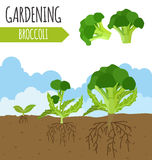 Garden. Broccoli. Plant growth Royalty Free Stock Image